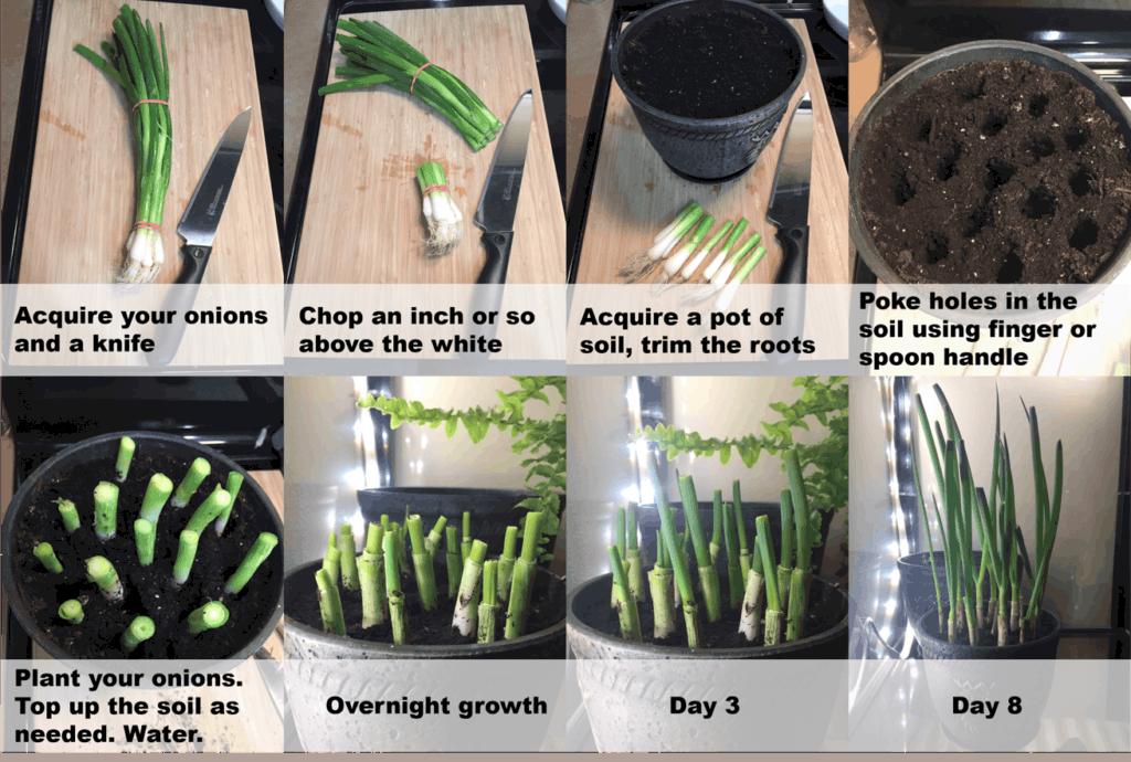 onion growing 3